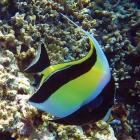 Idole maure (Zanclus cornutus), atoll de Male Sud, Maldives. © Photo : Pascal Kober.