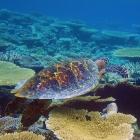 Tortue imbriquée (Eretmochelys imbricata), atoll de Male Sud, Maldives. © Photo : Pascal Kober.