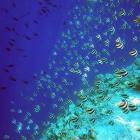 Banc de poissons cochers communs (Heniochus acuminatus), atoll de Felidhe (Vaavu), Maldives. © Photo : Pascal Kober.